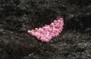 Fallen boronia flowers arranged in hollow rock